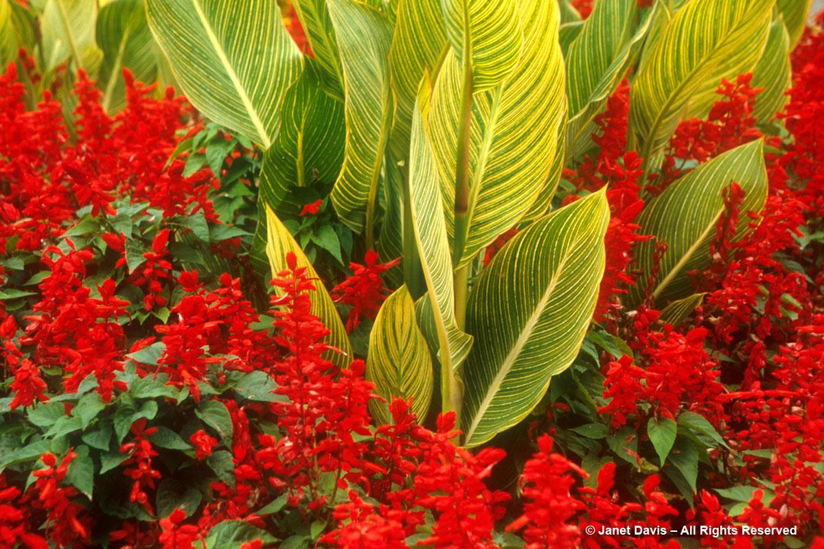 Salvia splendens & Canna 'Pretoria'