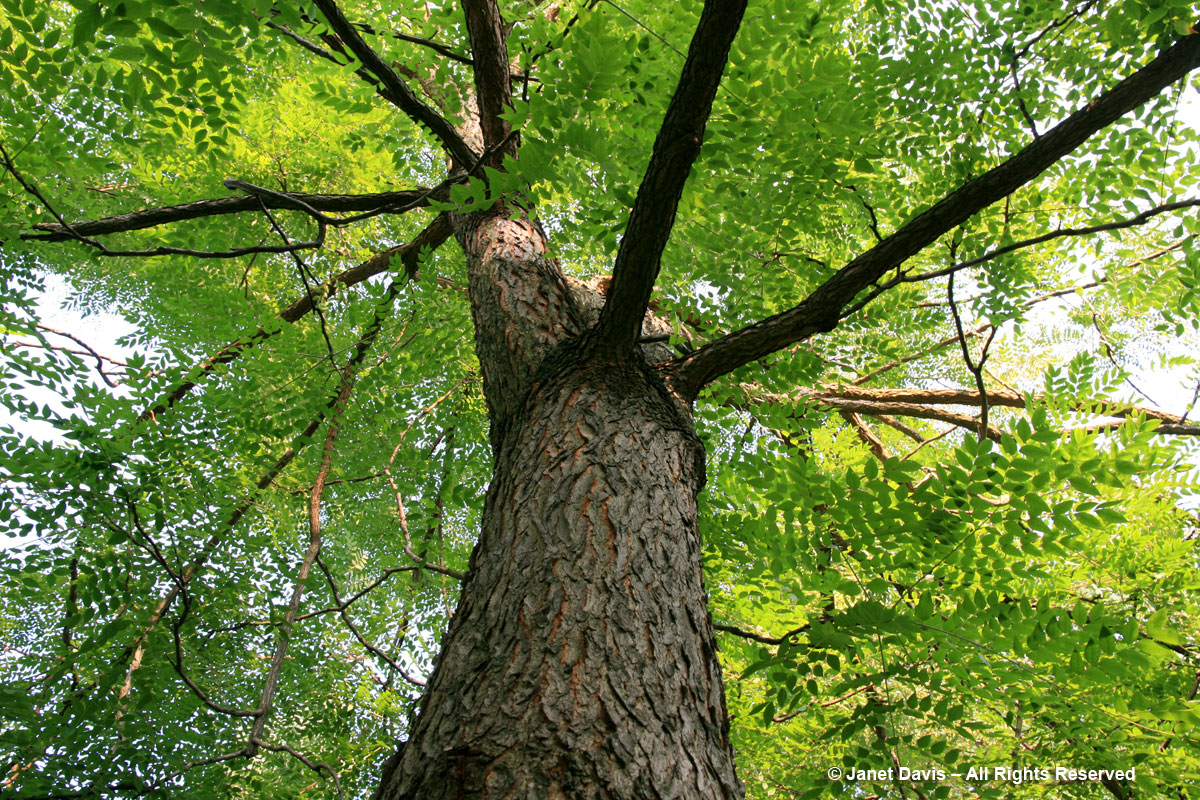 Gymnocladus dioicus-Kentucky Coffeetree