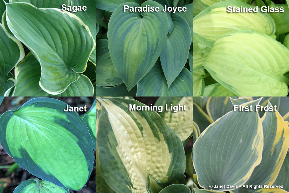 Hosta Array