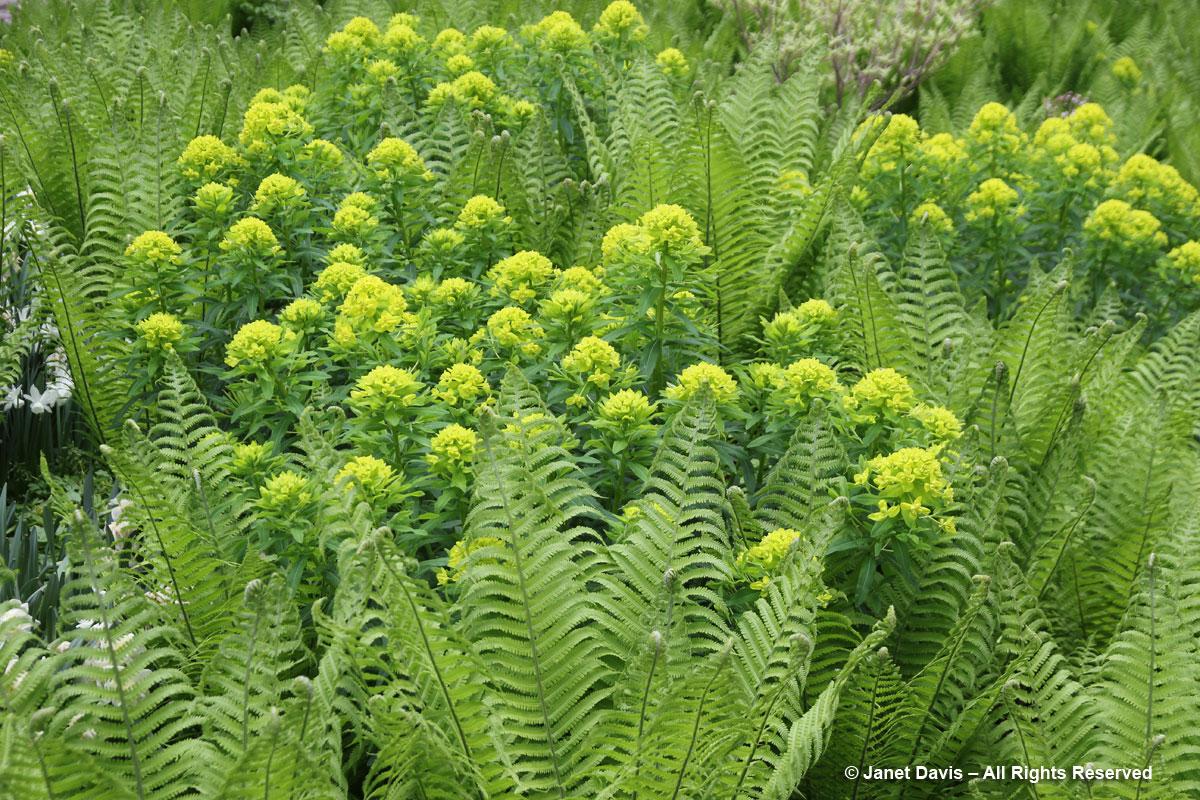 Montreal Botanical Garden-Euphorbia palustris & Matteucia struthiopteris