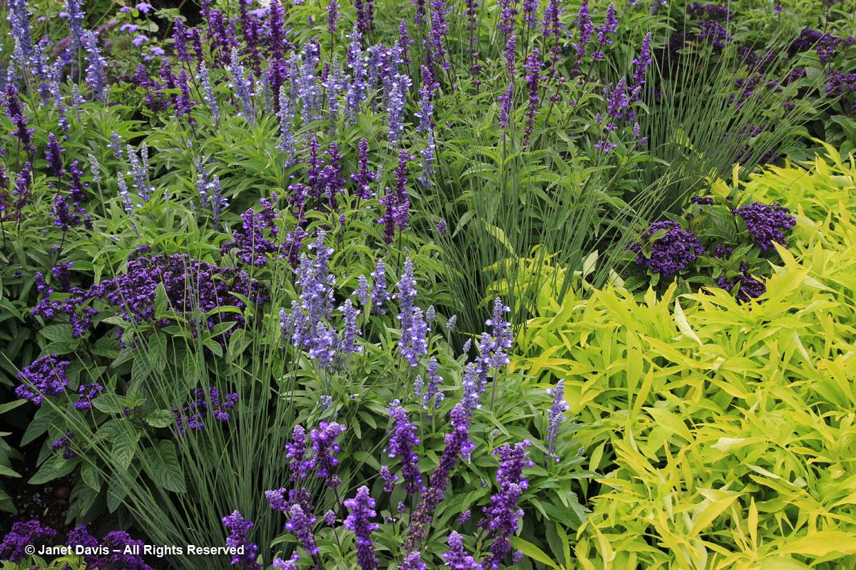 Montreal Botanical Garden-Ipomoea batatas 'Illusion Emerald Lace'