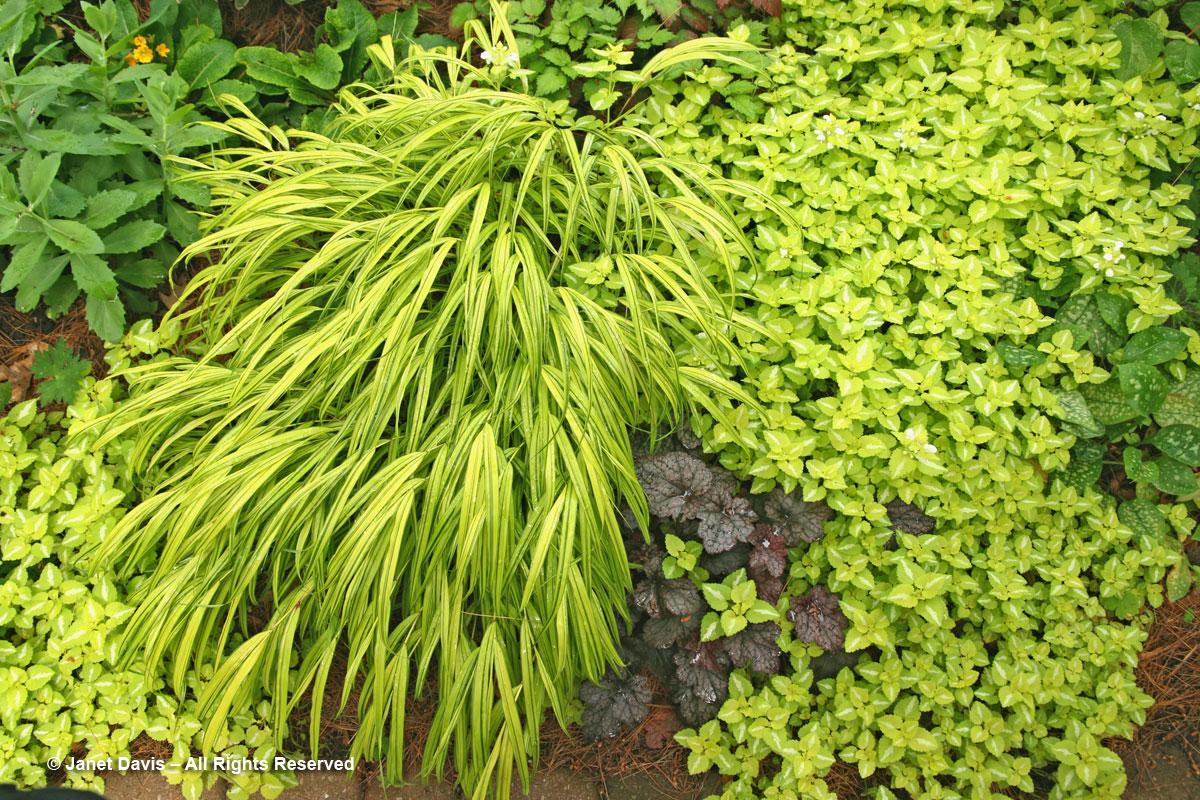 Shari Ezyk-Hakoechloa macra 'Aureola' & Lamium maculatum 'Beedham's White'