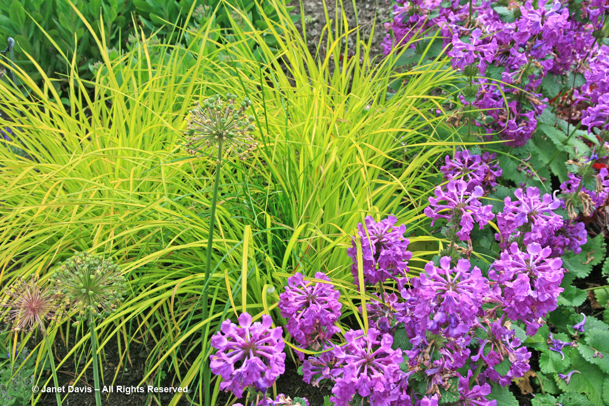 Van Dusen Gardens-Carex elata 'Aurea' & Stachys