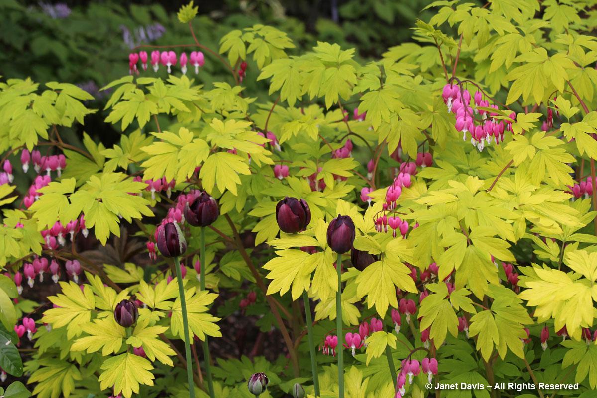 Van Dusen Gardens-Lamprocapnos spectabilis 'Gold Heart'
