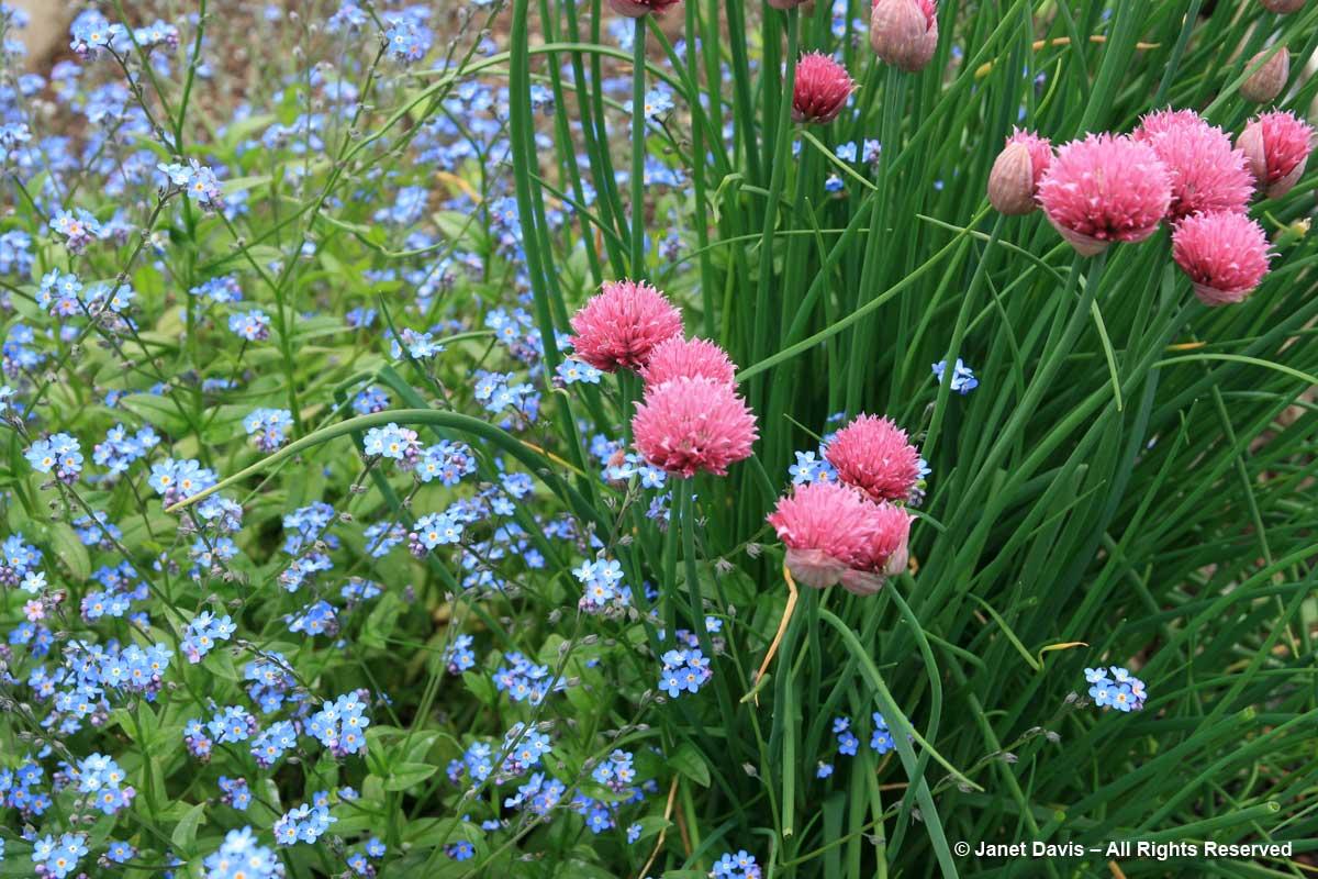 Allium schoeneprasum 'Forescate' & Myosotis sylvatica