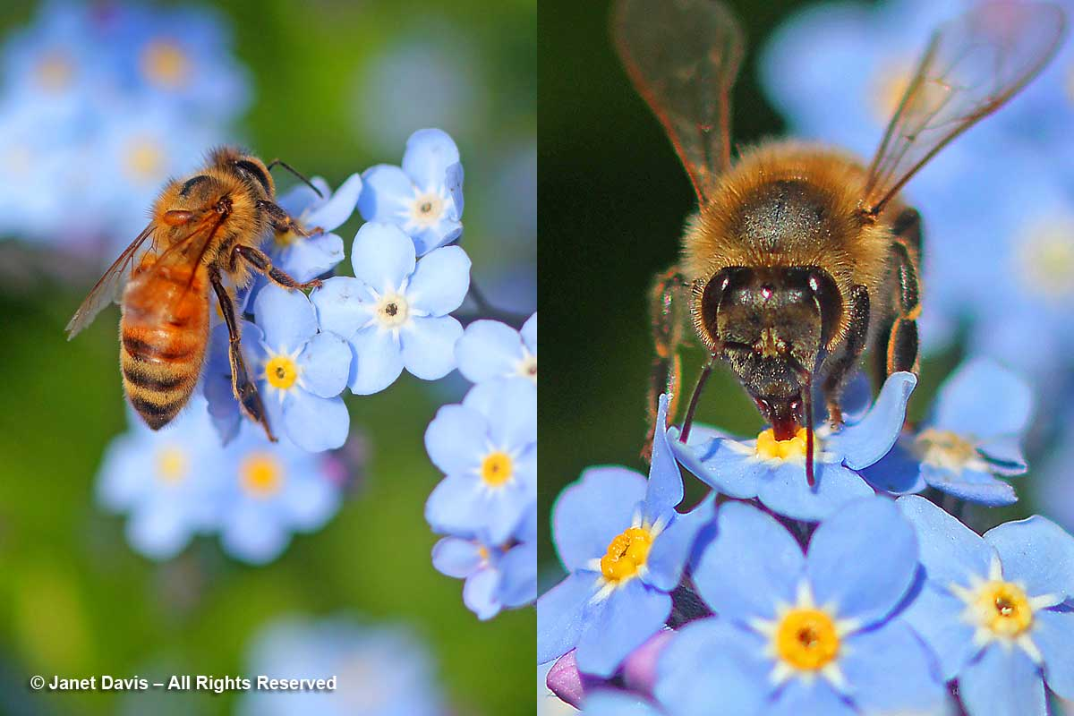 Apis mellifera on Myosotis sylvatica