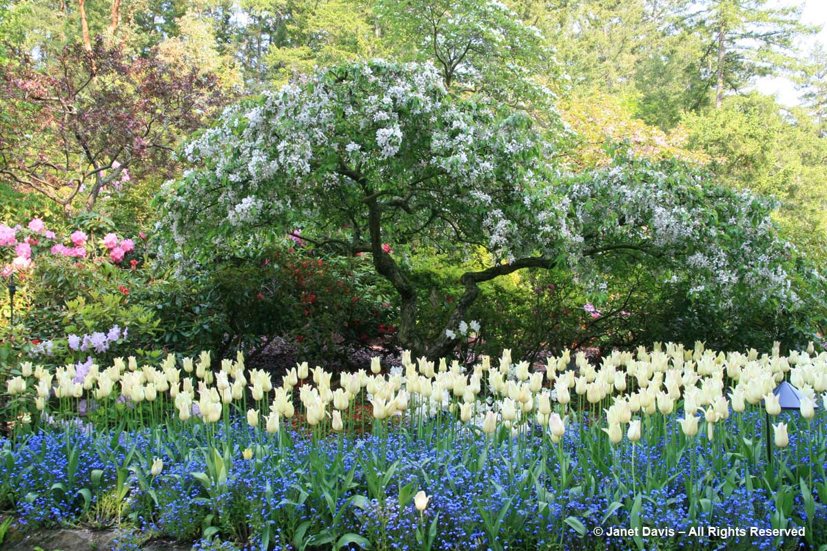 Butchart Gardens-Tulips & Forget-me-nots