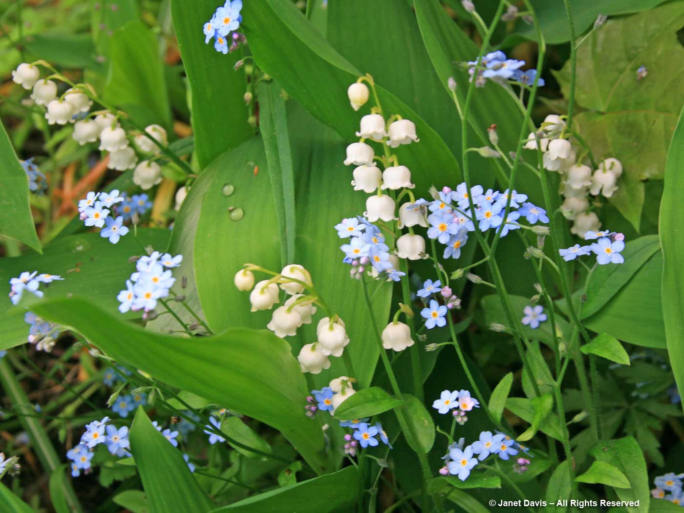 Convallaria majalis & Myosotis sylvatica