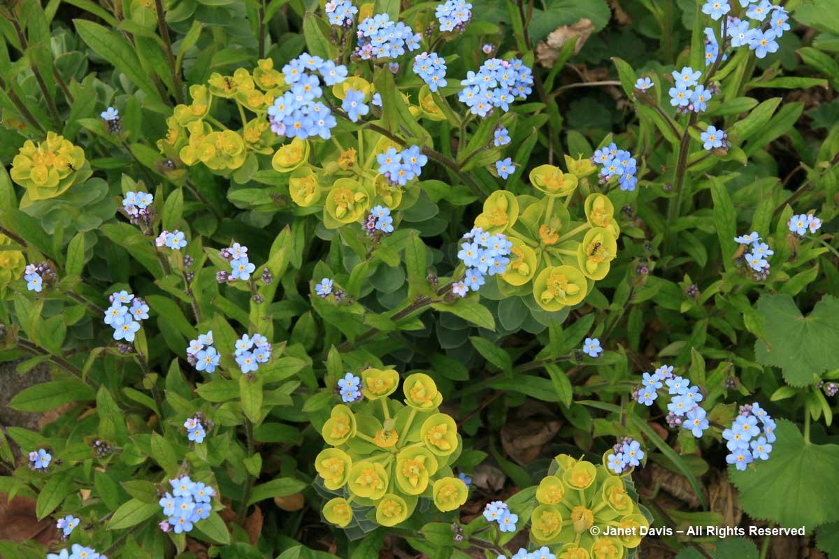 Euphorbia myrsinites & Myosotis sylvatica