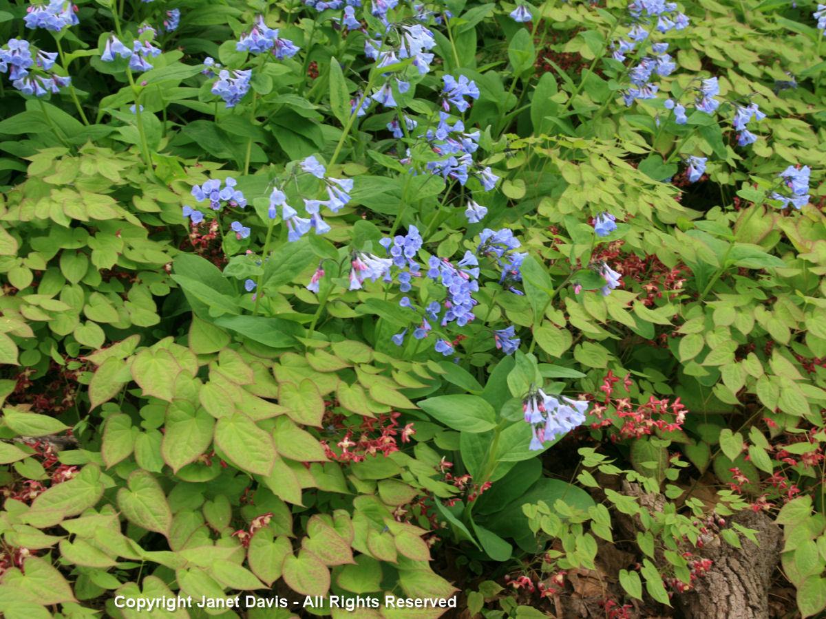 Mertensia virginica & Epimedium x rubrum