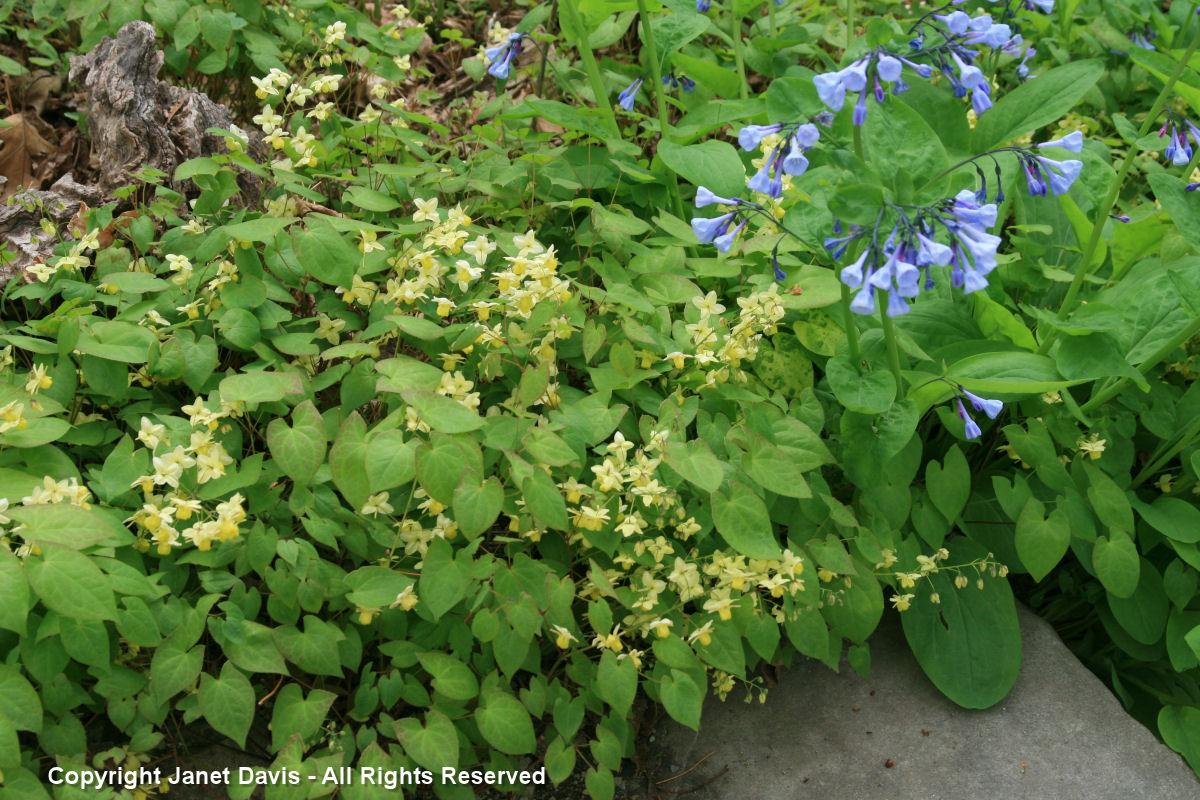 Mertensia virginica & Epimedium x versicolor 'Sulphureum'
