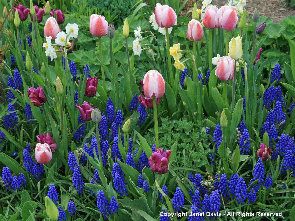 Muscari -Grape Hyacinths & tulips