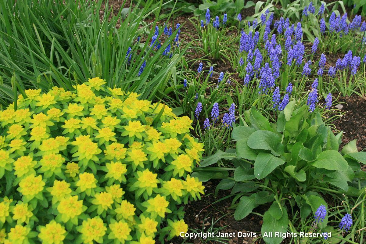 Muscari armeniacum & Euphorbia polychroma