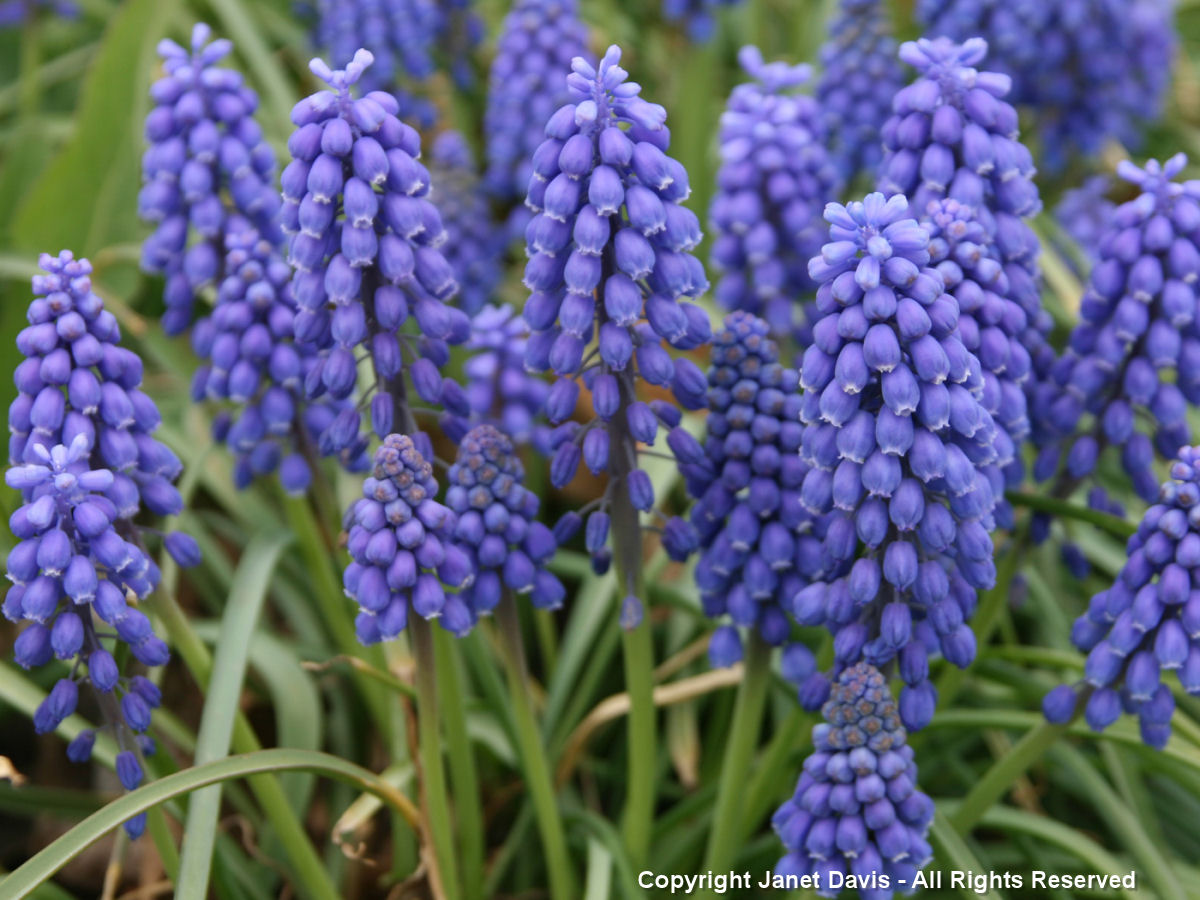 Are Hyacinths Perennials Or Annuals 28 Images