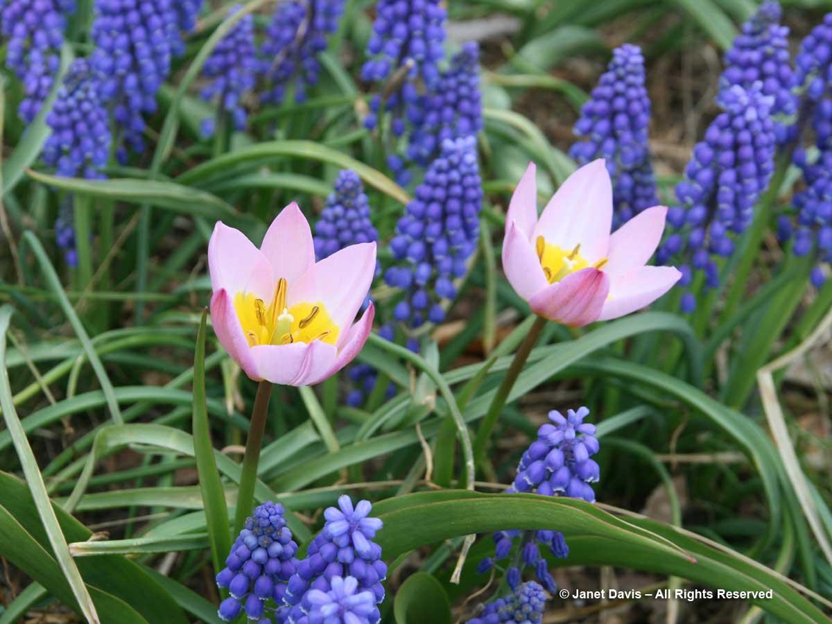 Muscari armeniacum & Tulipa saxatialis