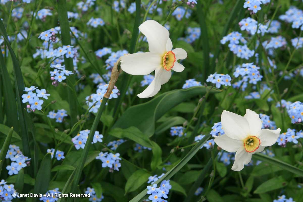 Myosotis sylvatica & Narcissus poeticus