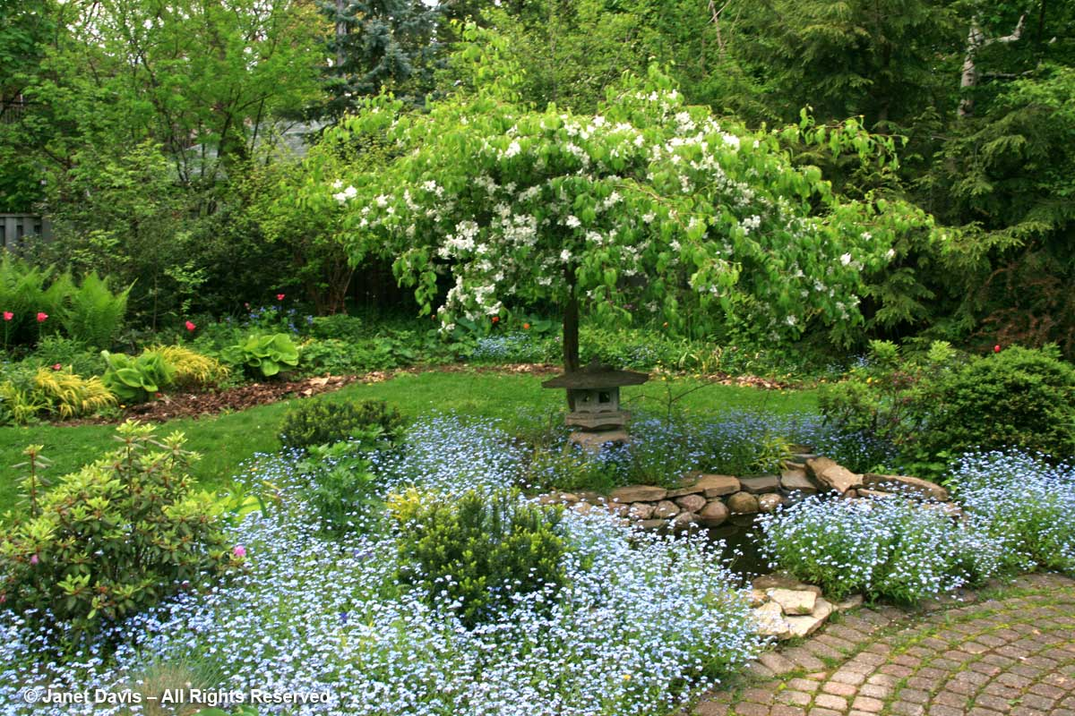 Pond-Forget-me-nots