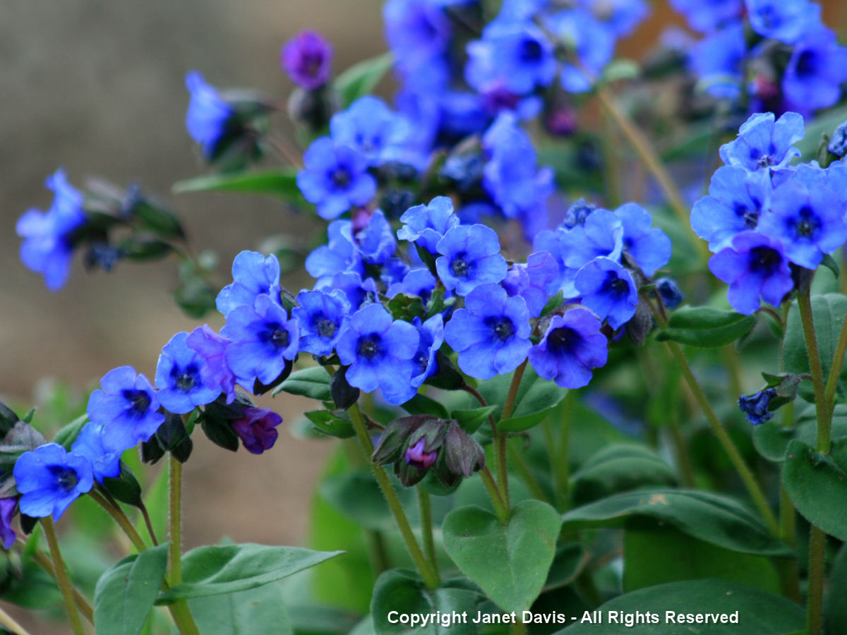 Designing with little blue spring blossoms janet davis explores colour pulmonaria blue ensign izmirmasajfo