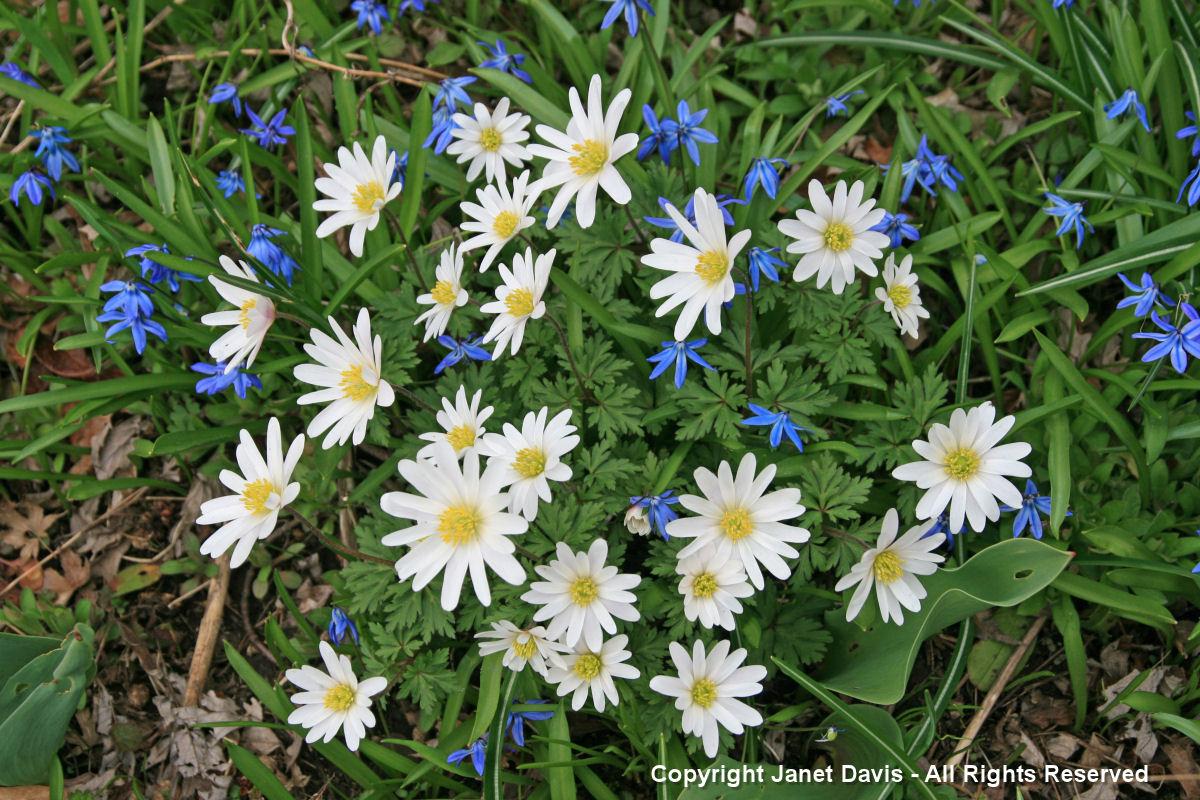 Scilla sibirica & Anemone blanda 'White Splendour'
