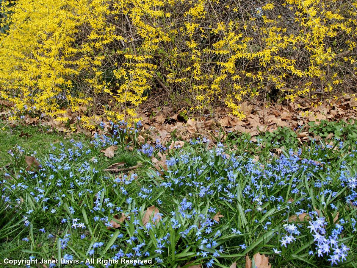 Squill-Glory of the snow-Forsythia