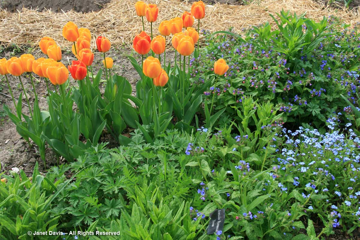 Tulipa 'Daydream' & Myosotis sylvatica