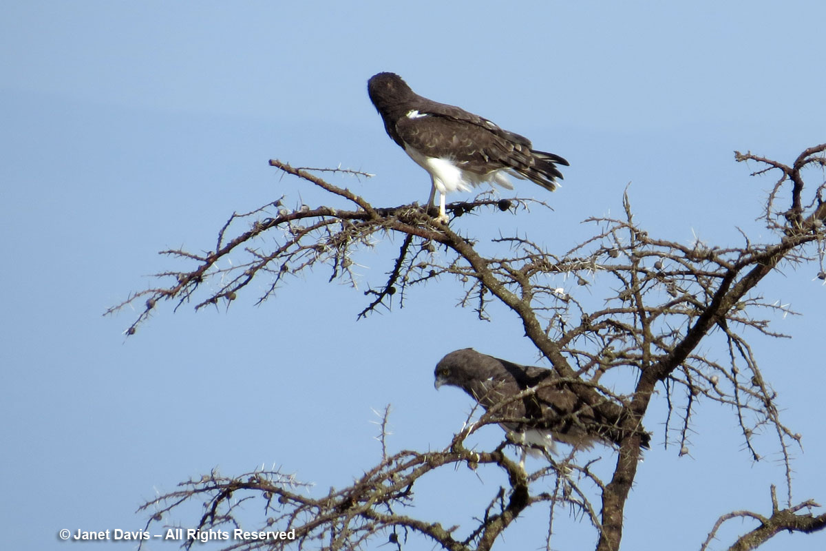 Black-Chested Snake Eagles-Kicheche Laikipia