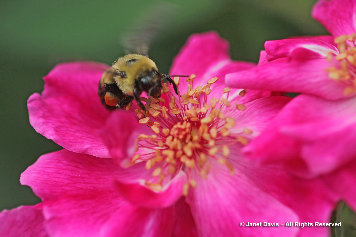 Bombus impatiens on Rosa 'William Baffin'
