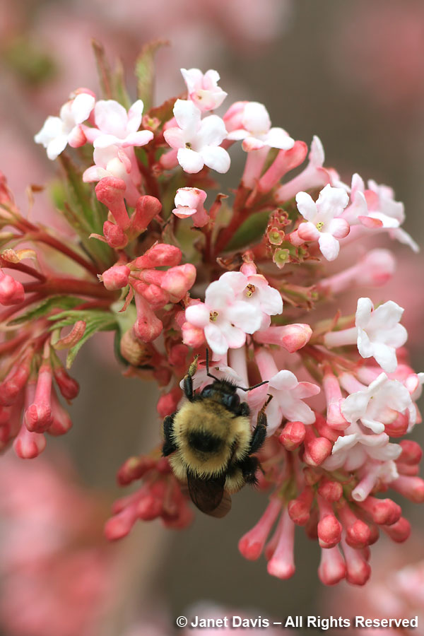 Bombus on Viburnum x bodnantense 'Dawn'
