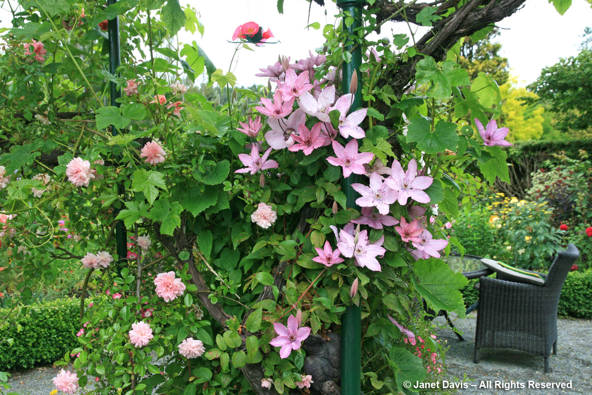 Clematis 'Hagley Hybrid' with pink rose