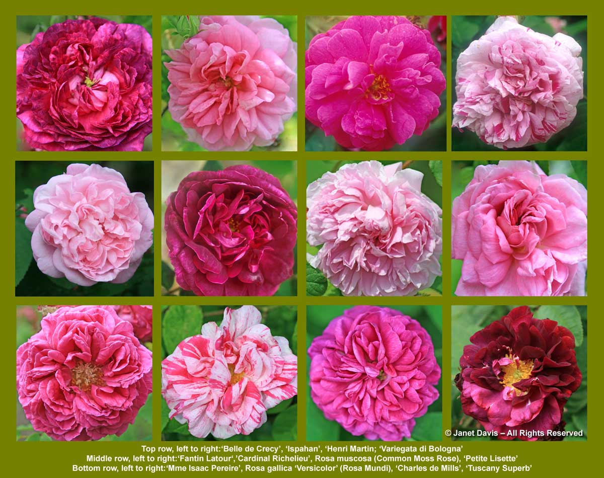 Old Rose Array