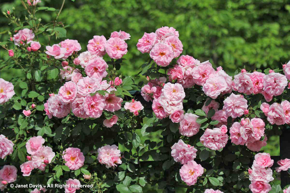 Rosa 'John Davis'-Explorer Shrub Rose