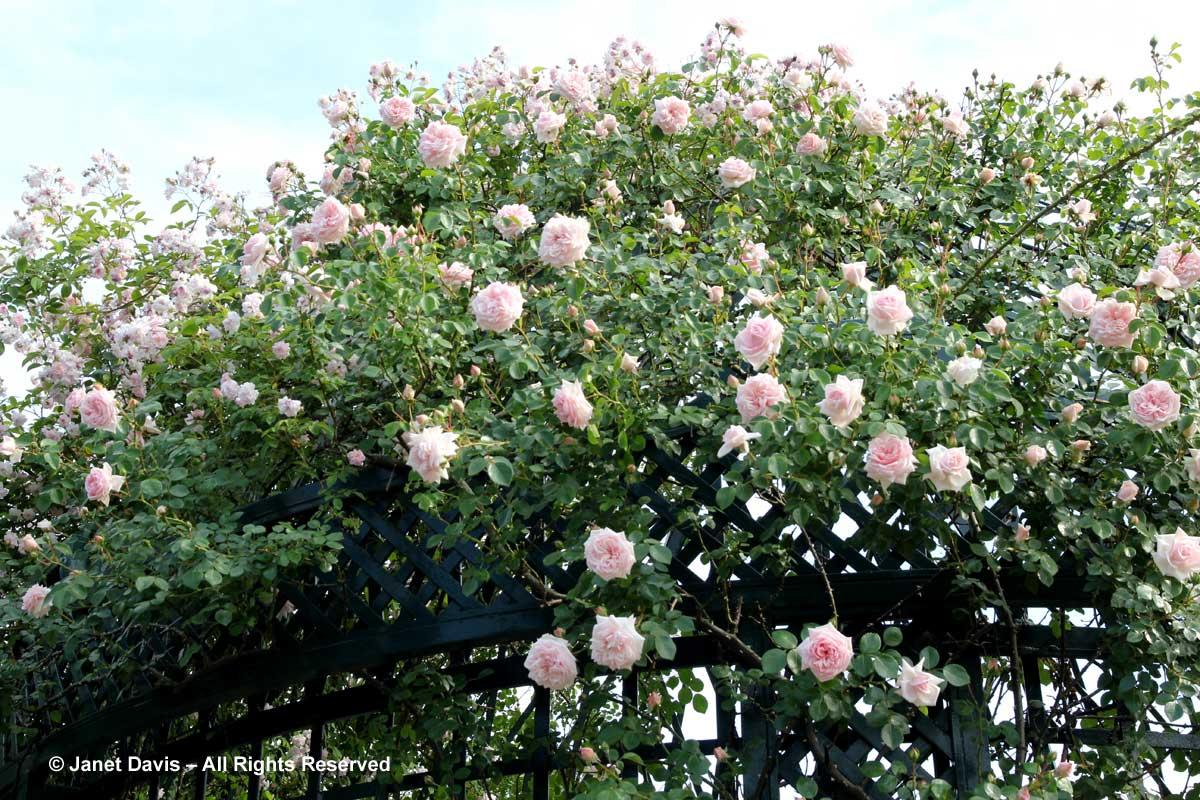 Rosa 'New Dawn'-Peggy Rockefeller Rose Garden