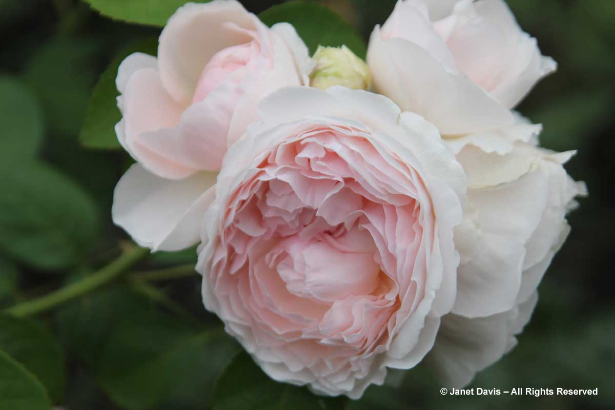 Rosa 'Redoute'