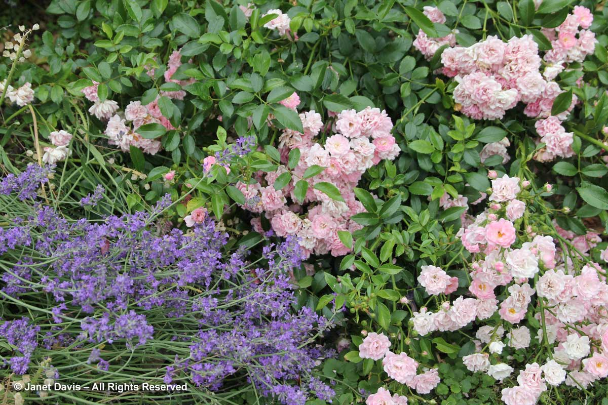 Rosa 'The Fairy' & Lavandula angustifolia