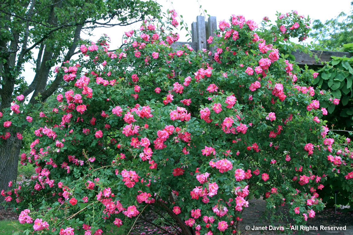 Rosa 'William Baffin'-Explorer Shrub Rose