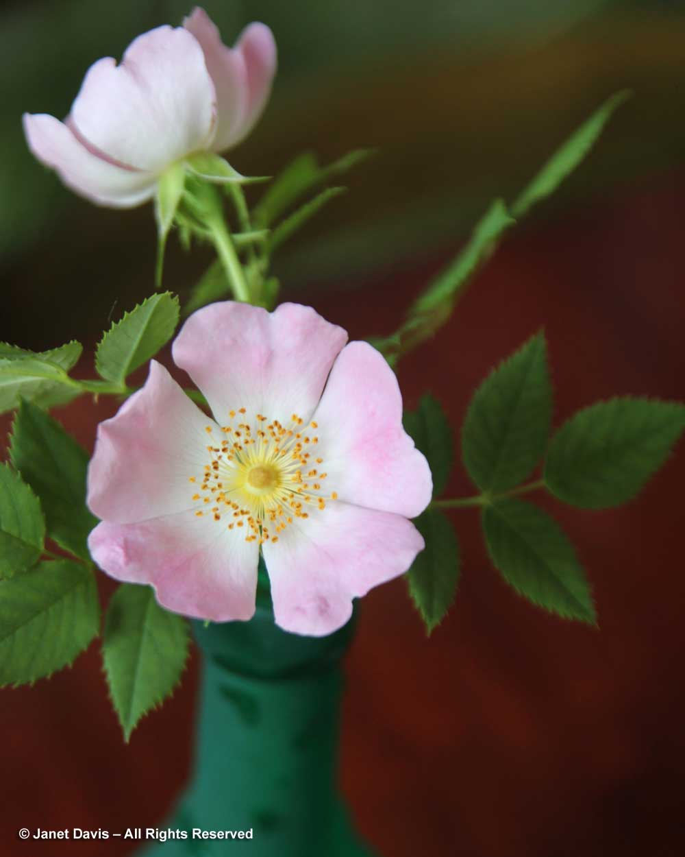 Rosa canina-Dog rose