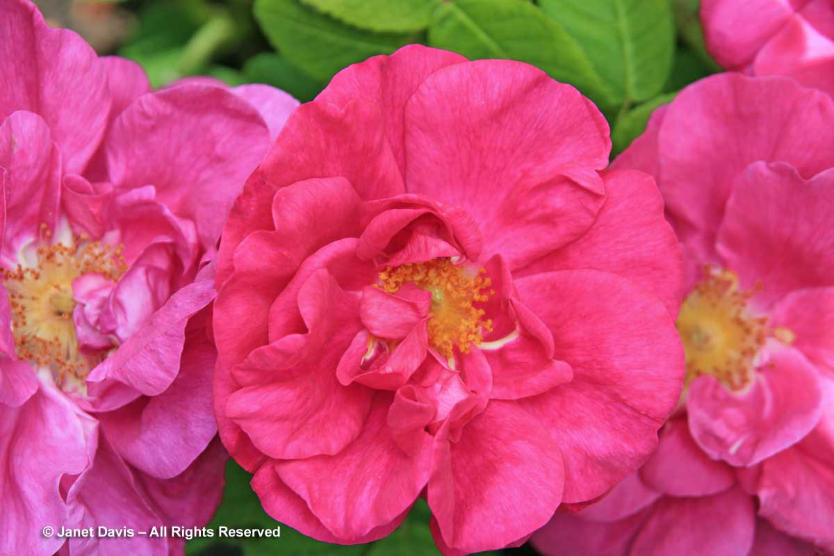 Rosa gallica 'Officinalis'-Apothecary rose