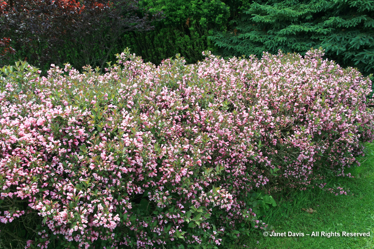 Weigela florida hedge