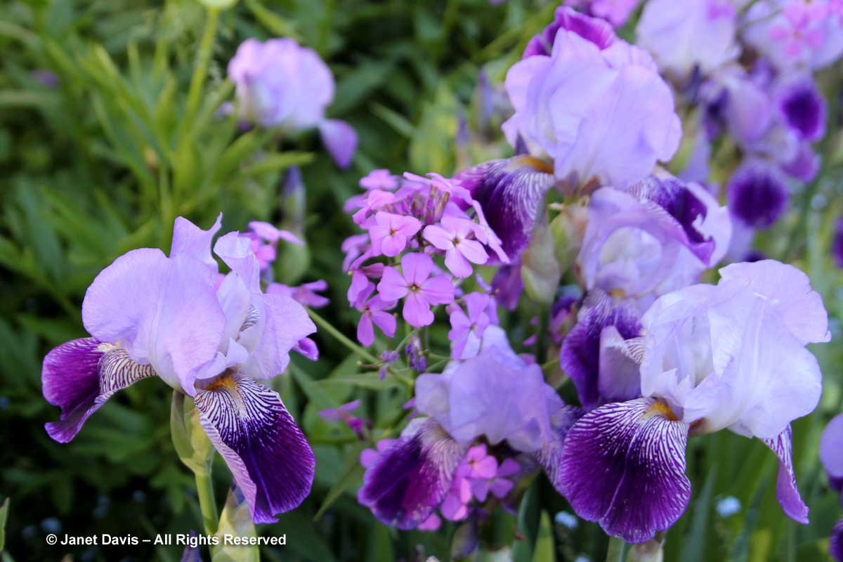 29-Bearded Iris & Hesperis matronalis