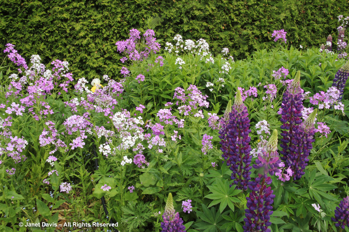 32-Hesperis matronaiis & Purple Lupines