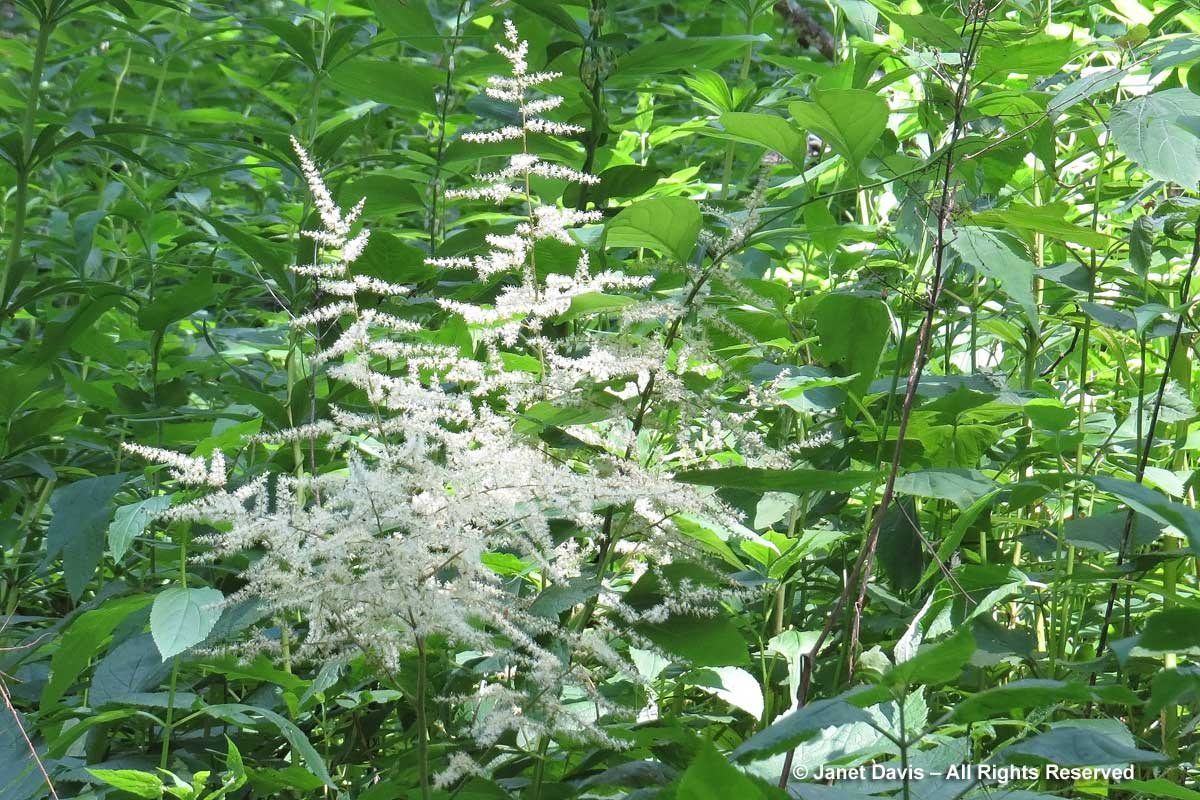 Aruncus dioicus-Goatsbeard-Blue Ridge Mountains
