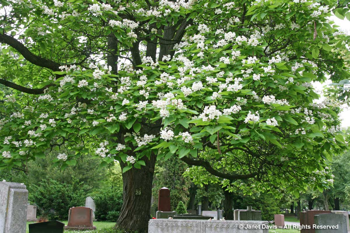 Catalpa speciosa-Mount Pleasant Cemetery1