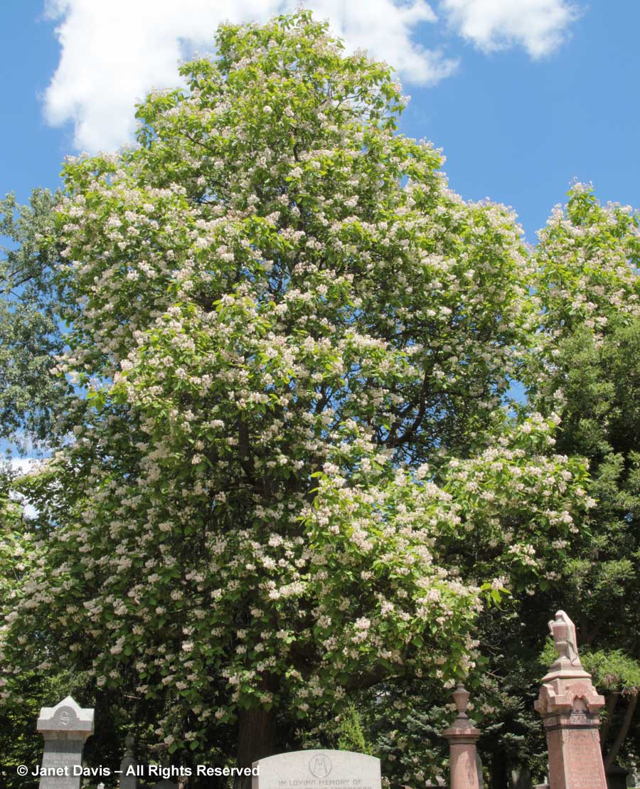 Catalpa speciosa-Mount Pleasant Cemetery2