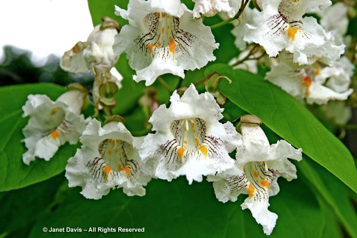 Catalpa speciosa-Northern catalpa-flowers
