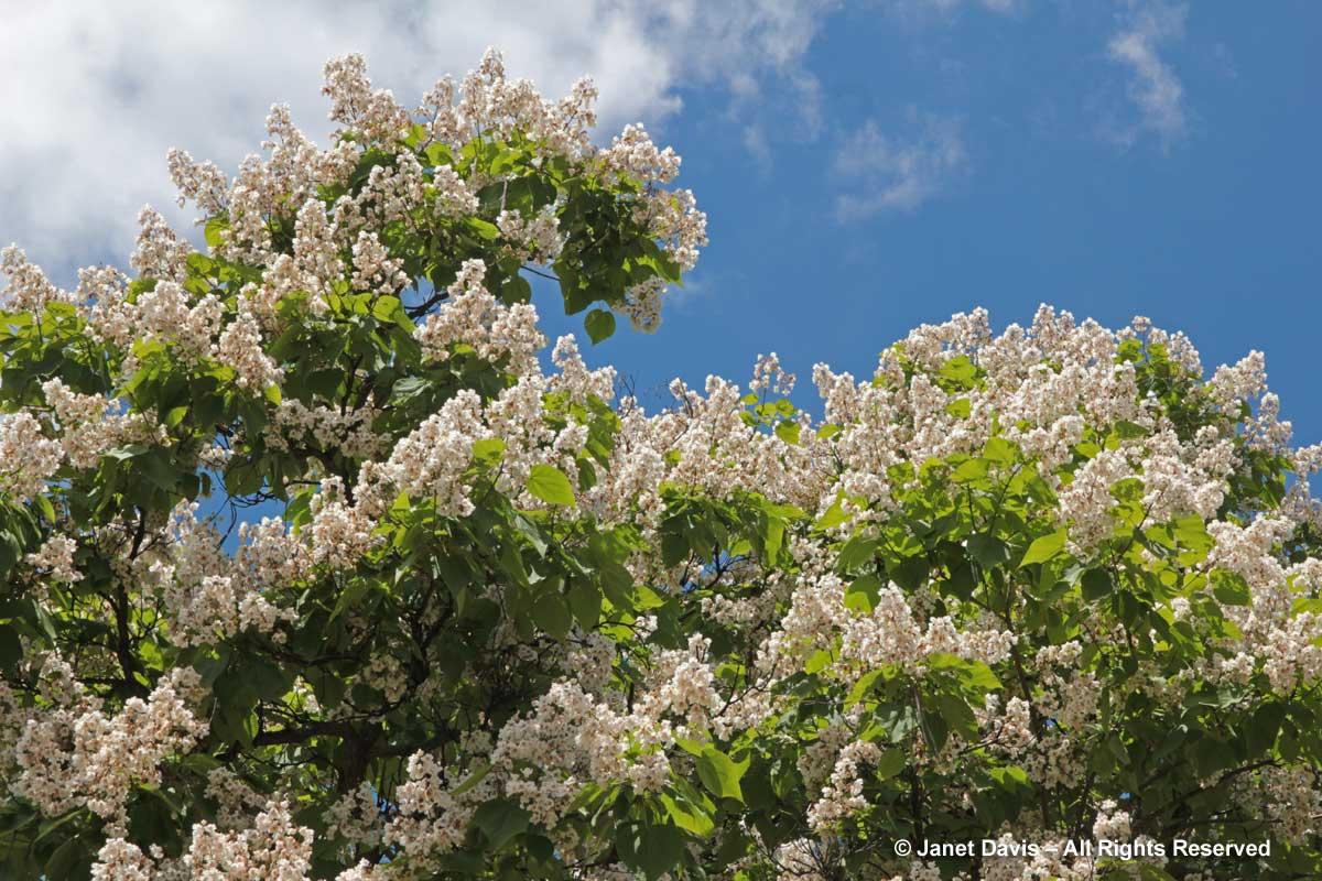 Catalpa speciosa-canopy