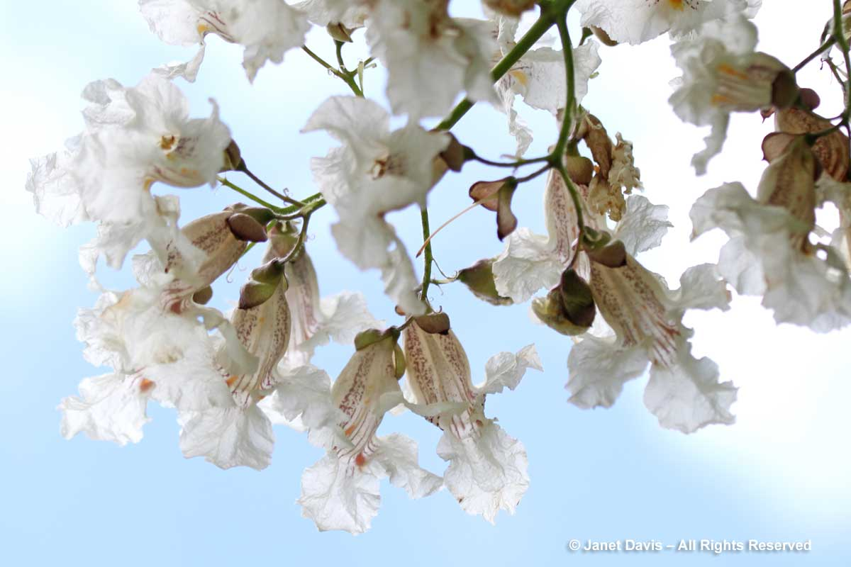 Catalpa speciosa flowers-backlit