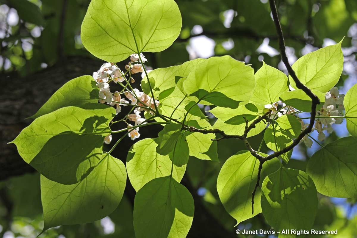 Catalpa speciosa-leaf array