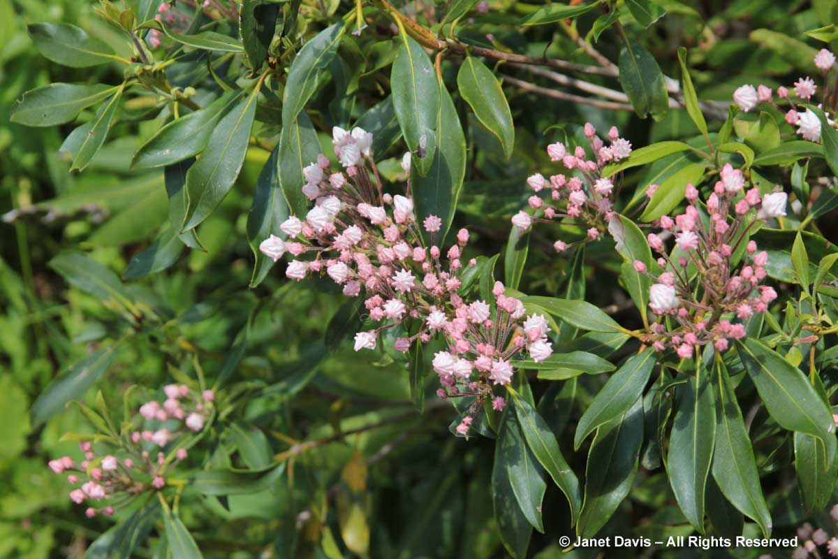 Kalmia latifolia-Mountain laurel
