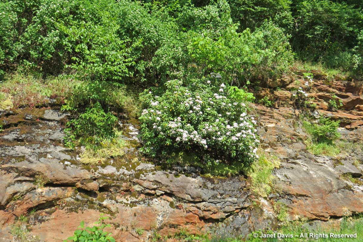 Kalmia on rock-Blue Ridge Parkwayl