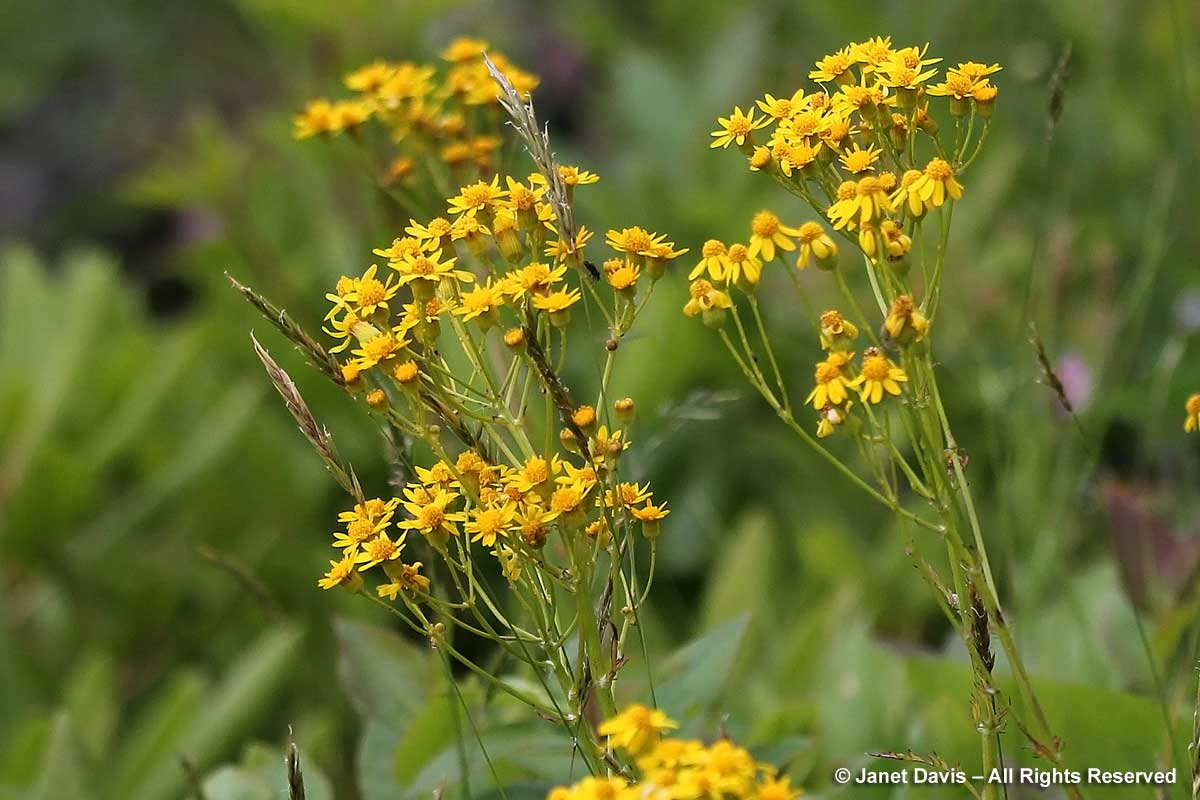 Packera aurea-golden groundsel